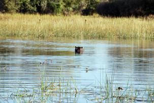 Nilpferd im Okavangodelta