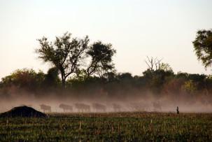Huftierherde im Okavangodelta