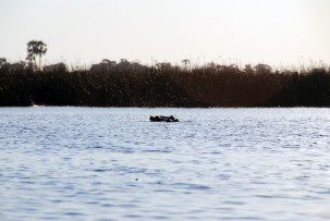 Hippo-Teich im Okavangodelta