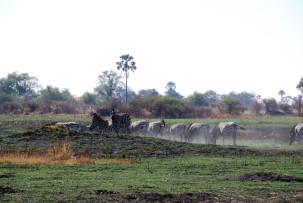 Zebras im Okavangodelta