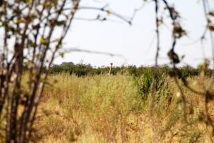 Giraffe im Okavangodelta