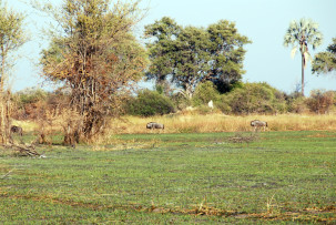 Gnus im Okavangodelta