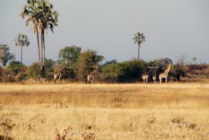 Giraffen im Okavangodelta