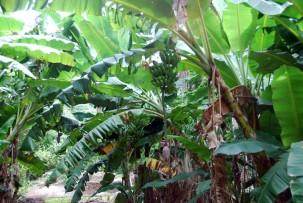 Kochbananen im Valle de los Ingenios