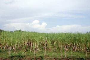 Zuckerrohrplantage im Valle de los Ingenios